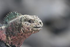 Galapagos Marine Iguana close up. With eyes closed and colourful skin pigmentation Royalty Free Stock Image