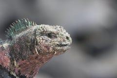Galapagos Marine Iguana close up. With eyes closed and colourful skin pigmentation royalty free stock image