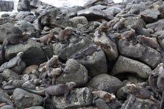 Galapagos Marine Iguana Colony Royaltyfri Fotografi