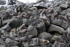 Galapagos Marine Iguana Colony Royalty Free Stock Photography