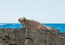 Galapagos Marine Iguana, die in den Sonnenstrahlen sich wärmt Lizenzfreies Stockfoto