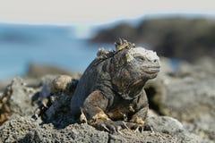 Galapagos Marine Iguana die op rotsen de rusten royalty-vrije stock foto's