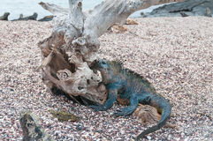 Galapagos marine iguana with drift wood tree on a beach Stock Photography