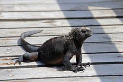 Galapagos Marine Iguana gå Fotografering för Bildbyråer