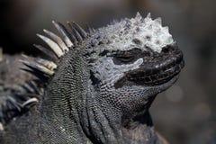 Galapagos Marine Iguana stock images