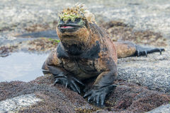 Galapagos marine iguana, Isabela island Stock Photography