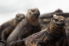Galapagos Marine Iguana. A Galapagos marine iguana (latin Amblyrhynchus cristatus) resting, with two others in the background royalty free stock photography