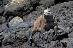 Galapagos Marine Iguana on lava rocks stock image