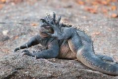 Galapagos marine iguana licking its foot. Royalty Free Stock Images