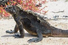Galapagos marine iguana at Loberia beach, San Cristobal island, Ecuador Stock Images