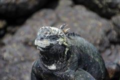 Galapagos Marine Iguana på lava vaggar Royaltyfri Foto