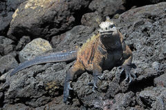 Galapagos Marine Iguana på lava vaggar Fotografering för Bildbyråer
