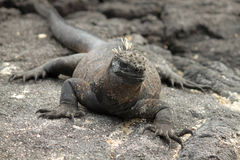 Galapagos Marine Iguana på svarta Lava Rock Royaltyfri Fotografi