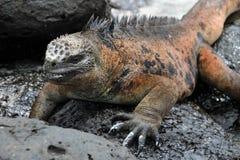 Galapagos Marine Iguana resting on lava rocks stock photos