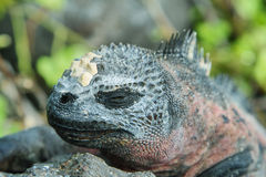 Galapagos Marine Iguana resting on rocks Royalty Free Stock Photos