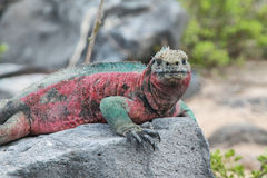 Galapagos Marine Iguana resting on rocks Royalty Free Stock Photo