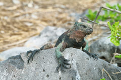 Galapagos Marine Iguana resting on rocks Stock Photos