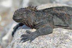 Galapagos Marine Iguana resting on rocks Royalty Free Stock Image
