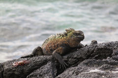 Galapagos Marine Iguana and Sally Lightfoot Crab on Black Lava Rocks Royalty Free Stock Images