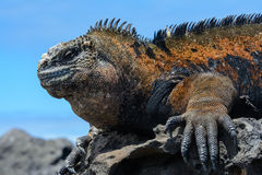 Galapagos marine iguana, San Cristobal island, Ecuador royalty free stock photo