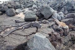 Galapagos Marine Iguana se reposant sur des roches de lave photos libres de droits