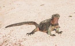 Galapagos Marine Iguana som värme i solstrålarna Royaltyfria Bilder