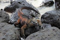 Galapagos Marine Iguana som vilar på lava, vaggar Royaltyfri Fotografi