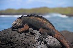 Galapagos Marine Iguana som vilar på lava, vaggar Royaltyfri Foto