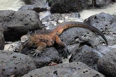 Galapagos Marine Iguana som vilar på lava, vaggar Fotografering för Bildbyråer