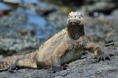 Galapagos Marine Iguana som vilar på, vaggar Royaltyfria Bilder