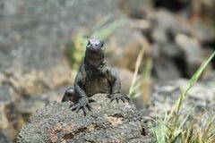 Galapagos Marine Iguana som vilar på, vaggar Fotografering för Bildbyråer