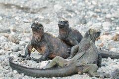 Galapagos Marine Iguana som vilar på, vaggar Royaltyfri Bild