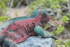 Galapagos Marine Iguana som vilar på, vaggar Arkivfoton