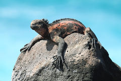 Galapagos Marine Iguana som vilar på, vaggar Royaltyfri Fotografi