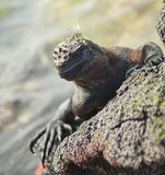 Galapagos Marine Iguana Sunning Royalty Free Stock Photos
