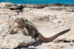 Galapagos marine iguana in sunshine. Galapagos marine iguana basking in the sunshine to warm up before feeding stock images