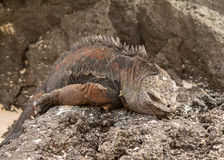 Galapagos marine iguana on volcanic rocks Stock Photography