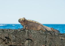 Galapagos Marine Iguana warming in the suns rays royalty free stock photo