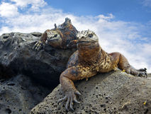 Galapagos marine Iguanas. Portrait of two Marine Iguanas on Galapagos royalty free stock photo
