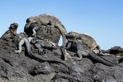 Galapagos Marine Iguanas Amblyrhynchus cristatus on lava rock, Galapagos Islands stock photos