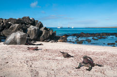 Galapagos marine iguanas on Espanola Island. Galapagos marine iguanas on the beach with the sea and tourist yachts in the background royalty free stock photo