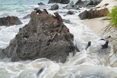 Galapagos Marine Iguanas resting on rocks Stock Photos