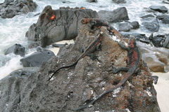 Galapagos Marine Iguanas resting on rocks. Galapagos Marine Iguanas (Amblyrhynchus cristatus) resting on rocks in La Espanola island, Galapagos, Ecuador Royalty Free Stock Photo
