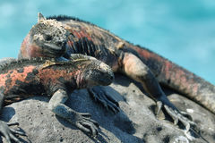 Galapagos Marine Iguanas resting on rocks Stock Photo