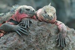 Galapagos Marine Iguanas som vilar på, vaggar Fotografering för Bildbyråer