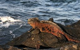 Galapagos-Marineleguan 2007 Lizenzfreies Stockfoto