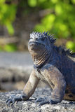 Galapagos-Marineleguan Stockbilder
