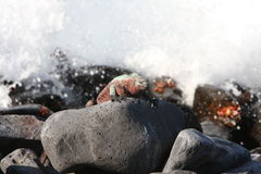 Galapagos-Marineleguan und raue Meere Lizenzfreie Stockfotos
