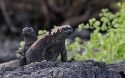 Galapagos-Marineleguanfamilie Lizenzfreie Stockfotografie