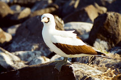 Galapagos Masked Booby. A Masked Booby in the afternoon sun, Galapagos Islands, Ecuador stock photo